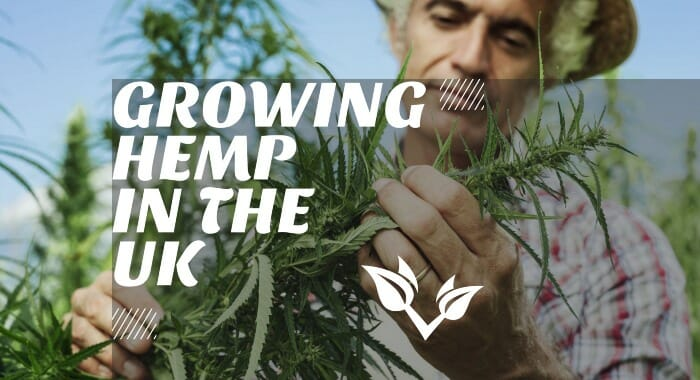 Growing Hemp In The UK