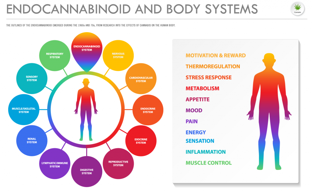 CBD and the endocannabinoid system | CBD4Beginners - all about the UK CBD market
