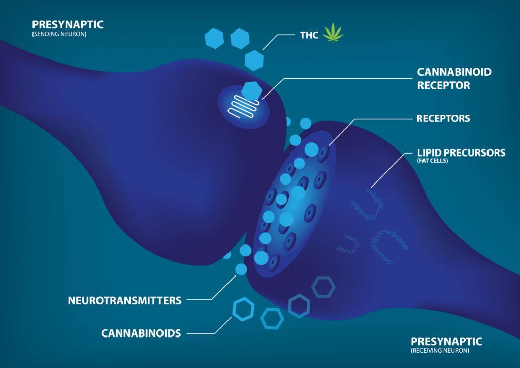 CBD and neurotransmitters | CBD4Beginners - all about the UK CBD market